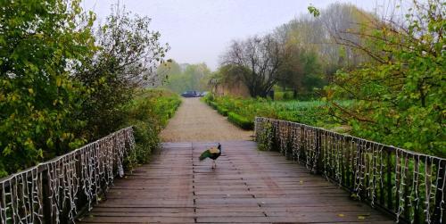Incontri al mattino: il pavone dell'Antica Corte Pallavicina (Polesine Zibello)