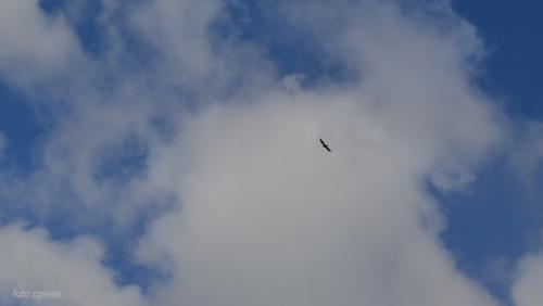 Il volo dell'aquila in ricognizione sopra il nido (foto c.perer)