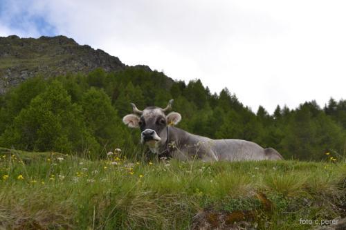 Mucche al pascolo (foto c.perer)