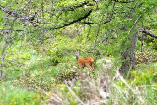 Incontri naturali: il capriolo nel verde del bosco (foto c.perer)