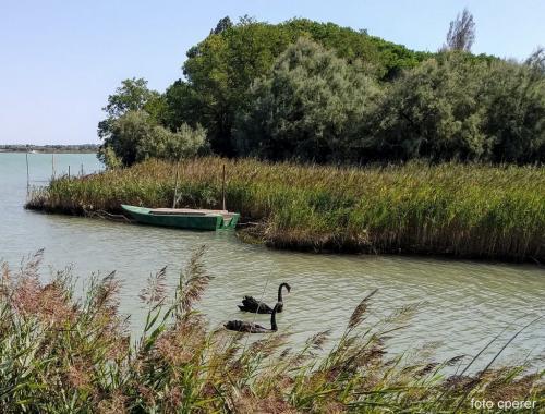Due rarissimi cigni neri in laguna, nei pressi di Cason Grottolo