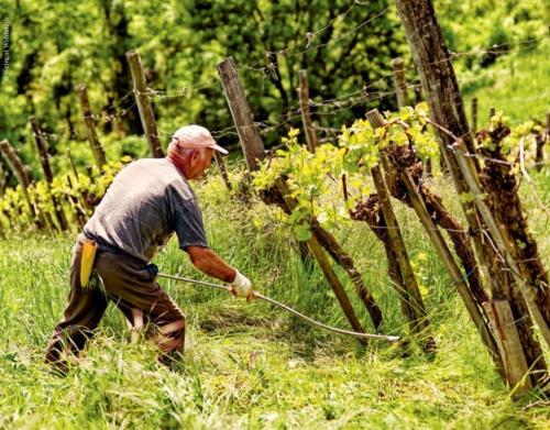 La viticoltura qui è un lavoro pesante, paragonabile alle coltivazioni in montagna; la viticoltura  non può essere meccanizzata, tutta la vendemmia e il lavoro preparatorio è fatto a mano.