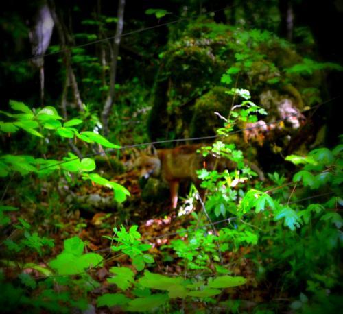 Una volpe nel bosco (Foto C.Perer)