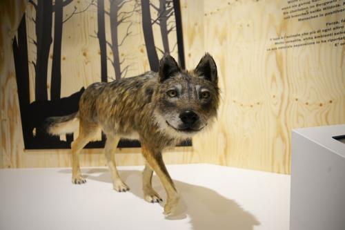 nuova stazione informativa sul lupo al Museo di Scienze Naturali dell'Alto Adige di Bolzano