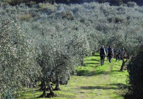 La camminata tra gli olivi è promossa dall'Associazione nazionale Città dell'olio