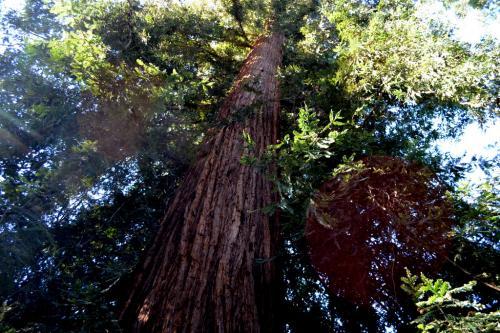 La sequoia, a lungo l'albero più alto del Parco, poi un fulmine ne ha abbattuto la punta alcuni anni fa: il primato è passato così al Liriodendro