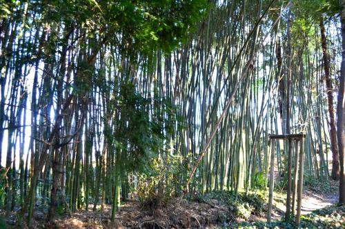 Il boschetto di Bambù giganti