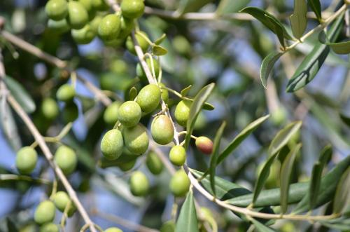 La Cultivar Coratina, da cui si estrae un olio di altissima qualità