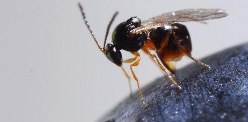 la vespa samurai o Trissolcus japonicus