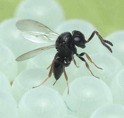 la vespa samurai, piccola e preziosa