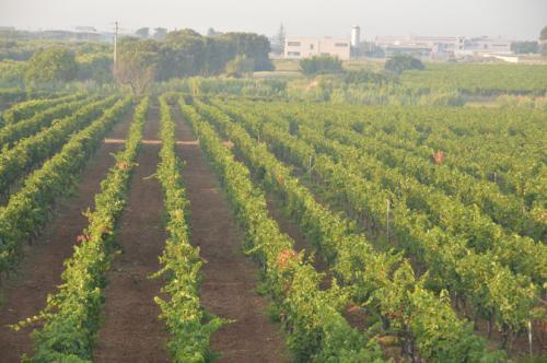 Nelle Tenute Schiena a Francavilla Fontana tra i vigneti di Chardonnay di Schiena Vini