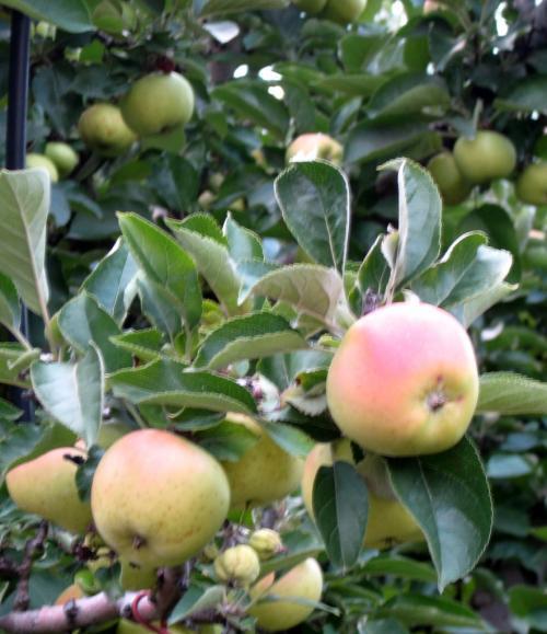 E' stato sequenziato il genoma del melo - foto www.giornalesentire.it