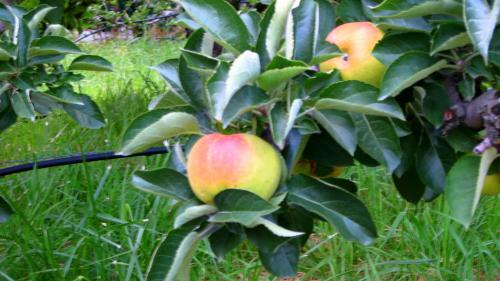 Una mela su cinque in Italia è trentina - foto www.giornalesentire.it